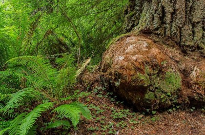 ONE VERY LARGE LIVE BURL AT THE BASE OF SEQUOIA SEMPERVIRENS (PACIFIC REDWOOD)