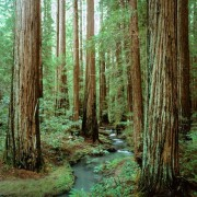 IN THE HEART OF THE REDWOODS