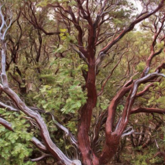MANZANITA AS IT OCCURS IN NATURE