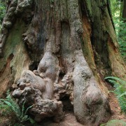 WHERE MOST BURLS COME FROM